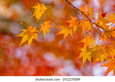 Maple of bright autumn leaves