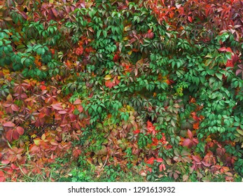 Maple Bush Images Stock Photos Vectors Shutterstock