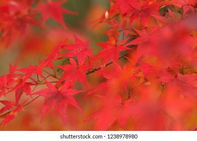 Maple (Close up)