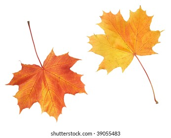 Maple colorful autumn leaves isolated on white background