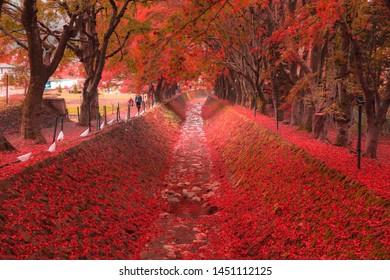 Maple Corridor (Momoji Kairo) at Kawaguchiko Lake in Autumn, Yamanashi, Japan
