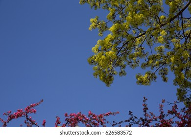 Maple and crabapple trees blooming in spring against a clear blue sky