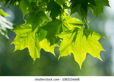 Maple green leaves on the tree and sunlight