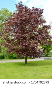 Maple (javor) is purple-leaf (Acer pseudoplatanus L.) in the city square. General view - Shutterstock ID 1734702893