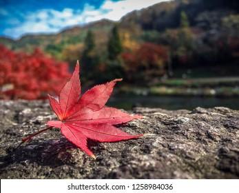 もみじ🍁 (Maple Leaf)