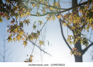 Maple leaf at autumn and blurred background .