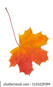 Maple leaf in autumn colors. Isolated on white background.
