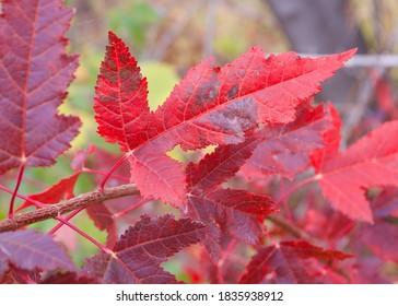 Maple leaf in autumn, fall. Southern Minnesota