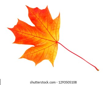 Maple leaf in autumn isolated on white background