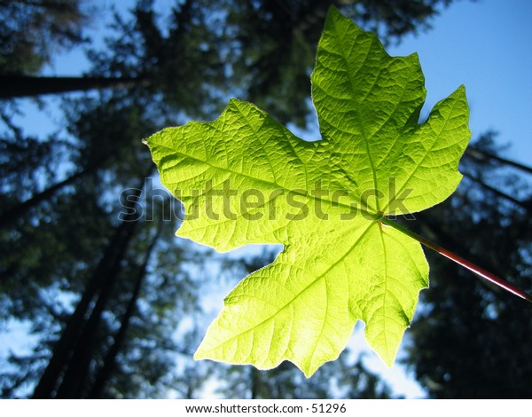 A maple leaf backlight by the sun.