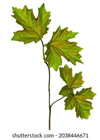 Maple leaf , Canadian symbol, Red maple leaf.  maple leaves. Isolated. Spring young greenery for decoration.