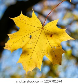 Maple leaf with colorful autumn coloring in October