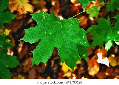 Maple leaf in a dark forest