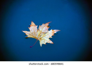 Maple leaf floating in blue water