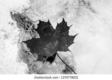 Maple leaf floating in pool of melting snow and ice in black and white.