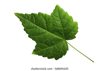 Maple leaf green, isolated on white background