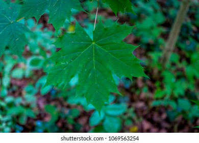 A maple leaf in Haagse Bos, forest in The Hague, Netherlands, Europe