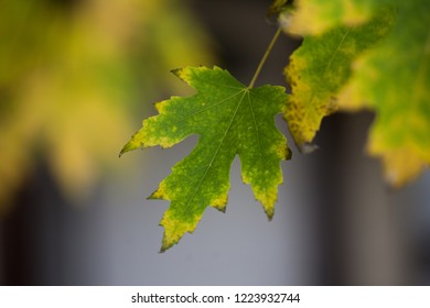 Maple Leaf Hanging on Tree in Late Autumn