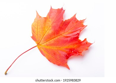 maple leaf isolated on white. red crimson golden autumn colors, the leaf of the maple, used as an emblem of Canada.