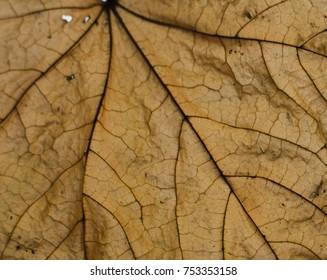 Maple leaf macro