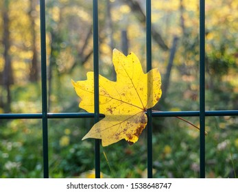 maple leaf on grid metal fence in autumn season in October. Autumn leaves stuck on fence with copy space for runaround or wraparound text against white background.