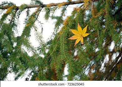 Maple leaf on the spruce leaves.