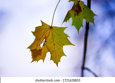 Maple leaf with Overcast sky background.