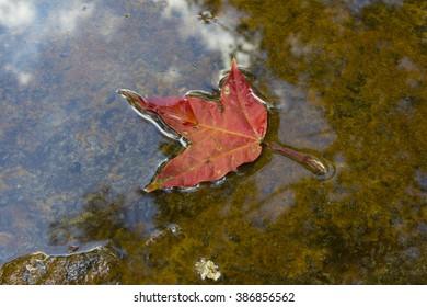 Maple leaf at Phu Kradueng National Park, Loei, Thailand