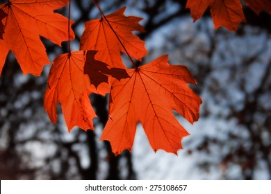 maple leaf red autumn sunset tree  background