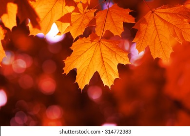 maple leaf red autumn sunset tree blurred  background