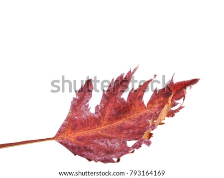 Maple Leaf Scientific Name Scientific Name Stock Photo Edit Now
