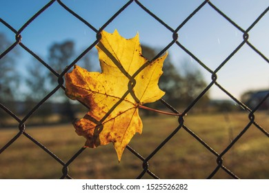Maple leaf stuck on metal wire fence with sunlight in the background. Autumn leaf.