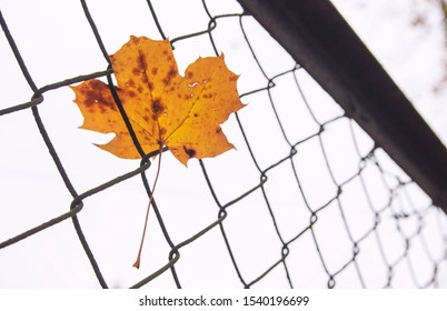 Maple leaf stuck on metal wire fence, bright grey sky in the background. Autumn leaf.