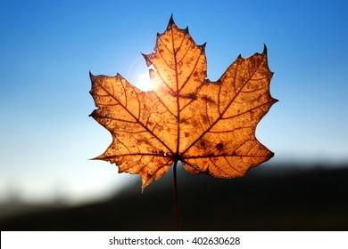 Maple leaf in sunlight and blue sky