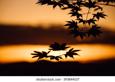 Maple leaf's silhouette shadow at sunset