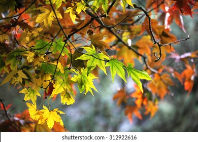Maple leave changing color in fall