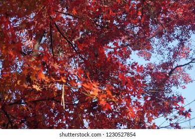 In maple leaves