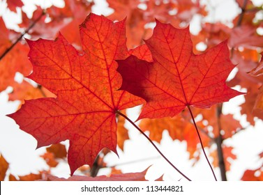 maple leaves in the autumn