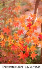 Maple leaves in autumn - Shutterstock ID 1375574090