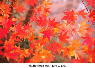 Maple leaves in autumn - Shutterstock ID 1375574108