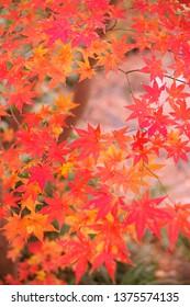Maple leaves in autumn - Shutterstock ID 1375574135