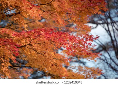 Maple leaves, autumn colors in Japan, Fall foliage season with blue sky and clear day.