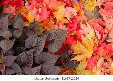 Maple leaves and blackberry sweet potato vine on ground showcasing vibrant colors of the fall season