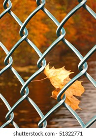 Maple leaves in chain link fence