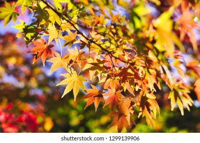 Maple leaves closeup in autumn. Autumn concept background material.