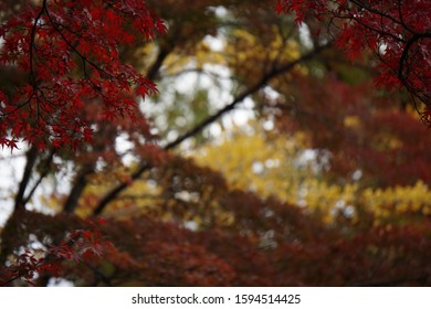 Maple leaves colored red and yellow in autumn