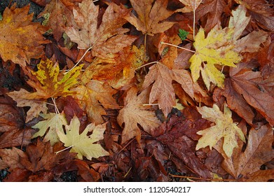 Maple Leaves Cover the Ground