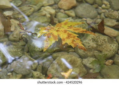 Maple leaves in a creek