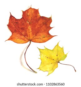 Maple leaves drawn in watercolor