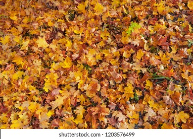 Maple leaves during autumn from above at a grass covered ground, yellow, orange and red colors of the foliage. Sweden